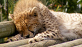 cheetah cub sleeping - cheetah photo