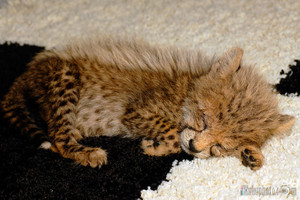 cheetah cub sleeping