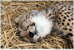 cheetah cub sleeping