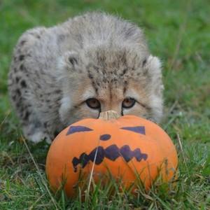 cheetah cub with a pumpkin, boga