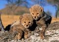 cheetah cubs - cheetah photo