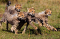cheetah cubs - cheetah photo