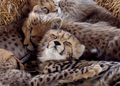 cheetah cubs sleeping - cheetah photo