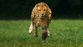 cheetah in action - cheetah photo
