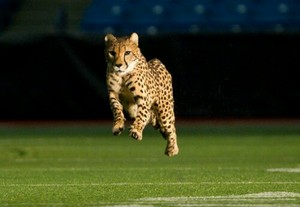 cheetah in action