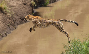 cheetah leaping