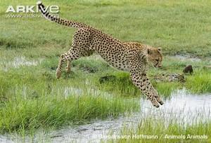 cheetah leaping