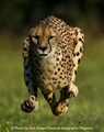 cheetah running - cheetah photo