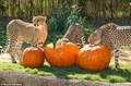 cheetahs eating pumpkins - cheetah photo