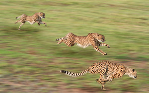 cheetahs in action