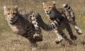 cheetahs running - cheetah photo