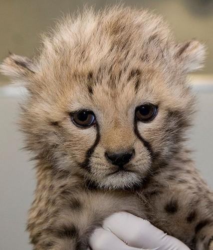 Cheetah Images Cute Cheetah Cub Wallpaper And Background ...