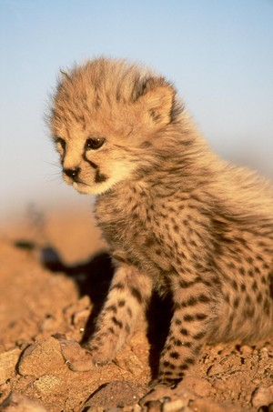 cute cheetah cub
