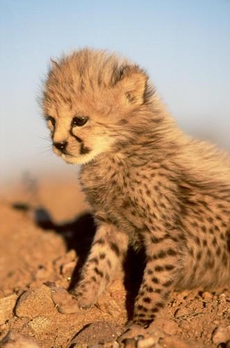 Cheetah images cute cheetah cub hd wallpaper and background photos cheetah wallpaper entitled cute cheetah cub voltagebd Image collections