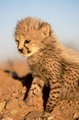 cute cheetah cub - cheetah photo
