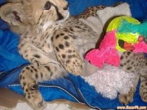 cute cheetah cub