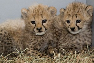 cute cheetah cubs