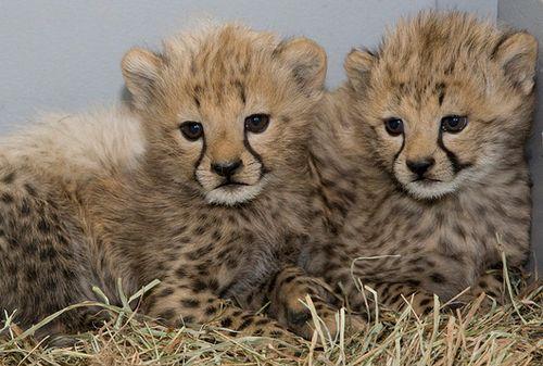 Cheetah images cute cheetah cubs wallpaper and background photos cheetah wallpaper called cute cheetah cubs voltagebd Image collections