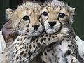cute cheetah cubs - cheetah photo