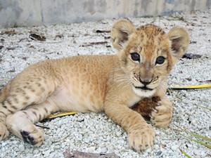 cute lion cub