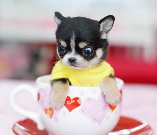 Cute chó con hình nền with a chihuahua called tea? anyone