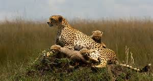 Cheetah Family