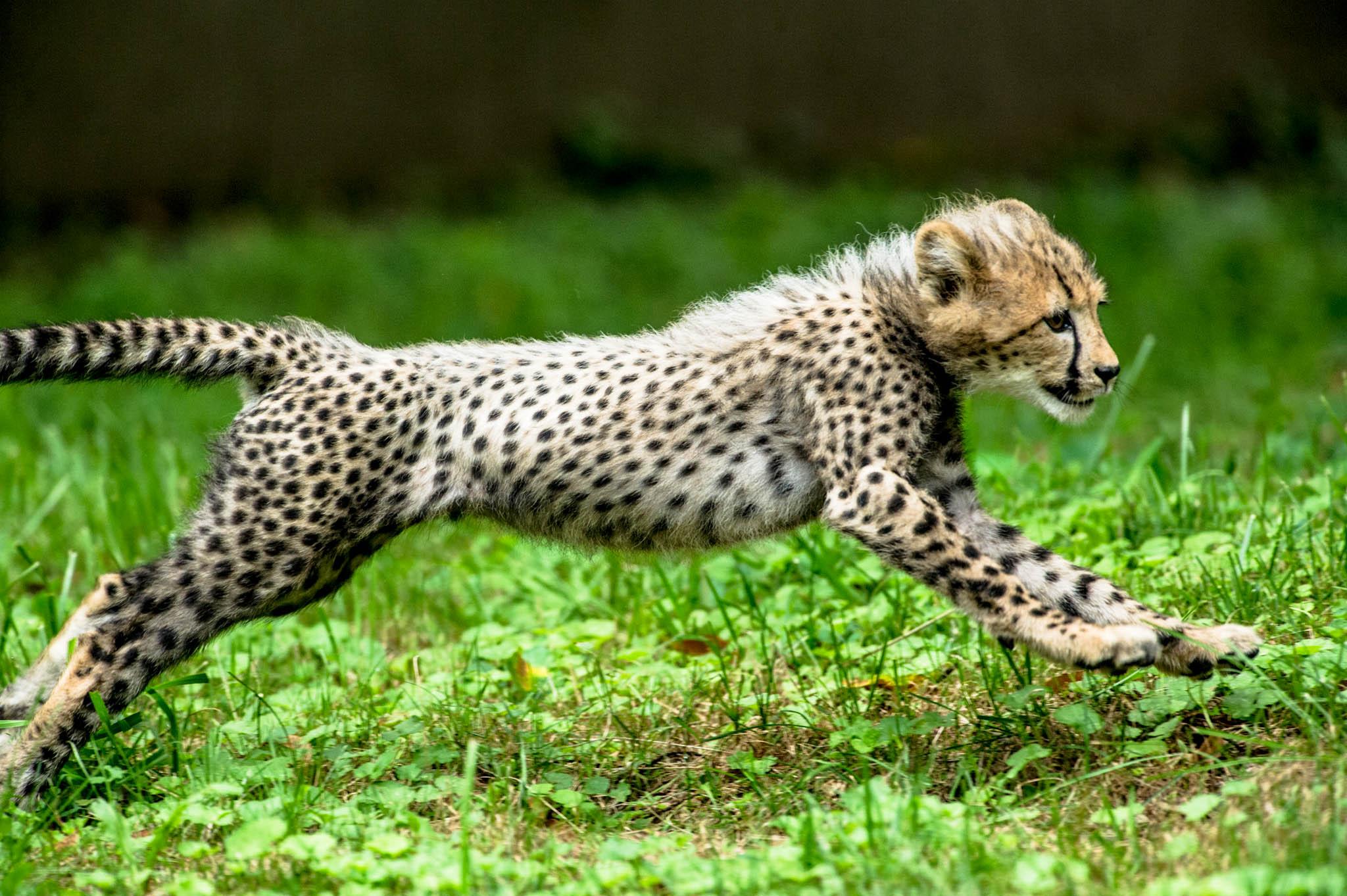 Cheetah Run: Cub Version