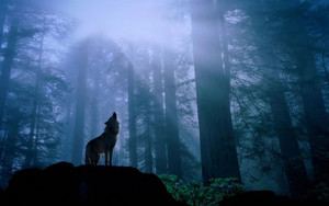 Howling in the night