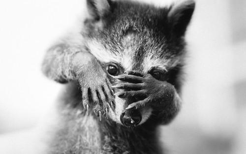 Animals wallpaper entitled Raccoon