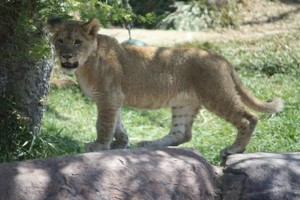 San Diego Safari Park lion cub