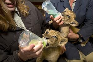 San Diego Safari Park lion cubs being fed