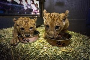 San Diego Safari Park lion cubs eating
