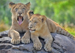 San Diego Safari Park lion cubs