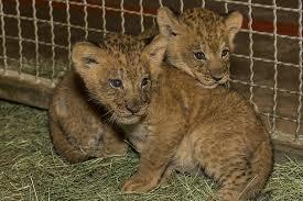 San Diego Safari Park cute lion cubs