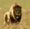 African Male Lion - lions photo