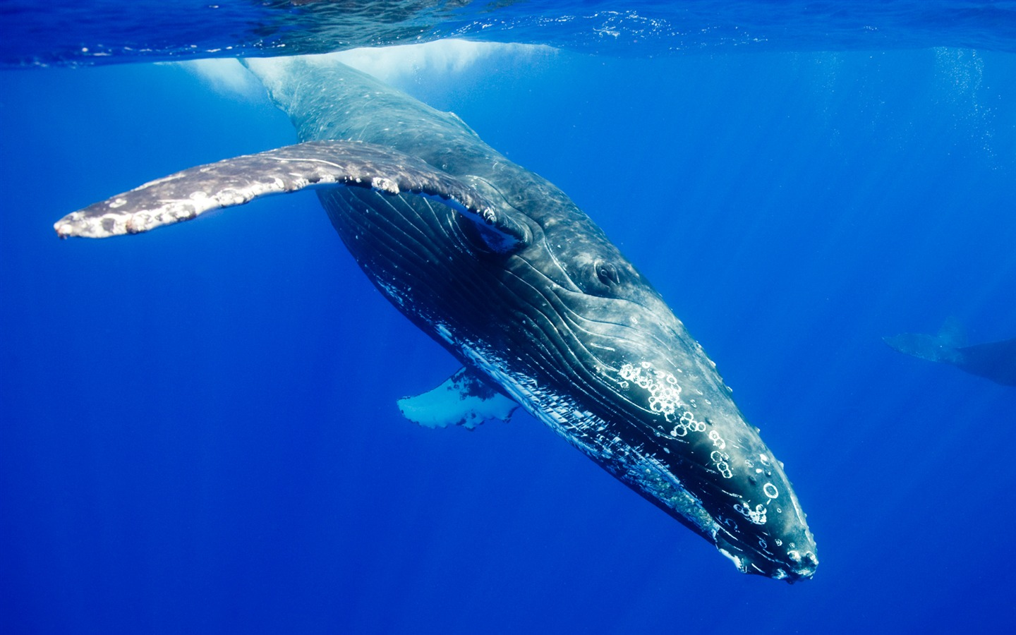 whaling humpback whale and whales This suborder includes the blue whale, the humpback whale, the bowhead whale and the minke whale all cetaceans have forelimbs modified as fins, a tail with horizontal flukes, and nasal openings (blowholes) on top of the head.