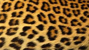 Large Cheetah fur, manyoya karatasi la kupamba ukuta