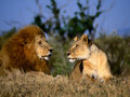 Lion and Lioness - lions photo