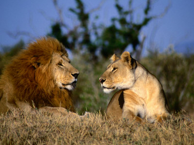 Lions پیپر وال possibly with a lion and a شیرنی, سنگھنی titled Lion and شیرنی, سنگھنی