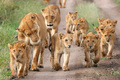 Lion pride - lions photo