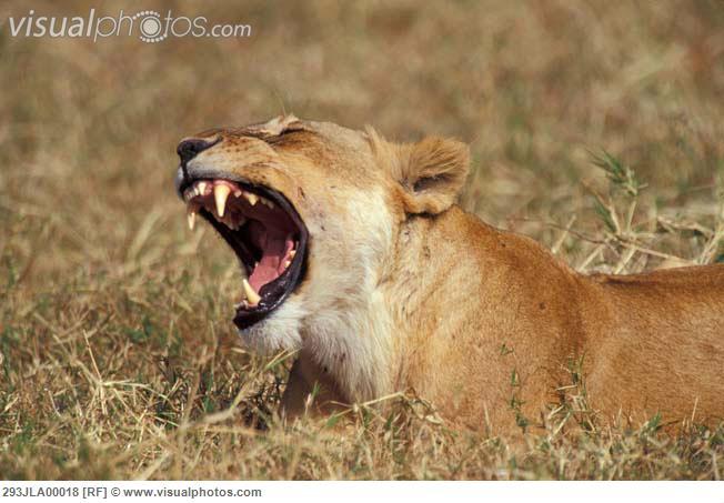 شیرنی, سنگھنی yawning