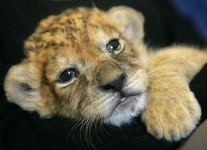 adorable lion cub