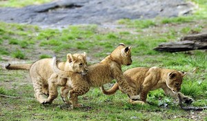 adorable lion cubs