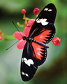 david-caruso - butterfly123 wallpaper