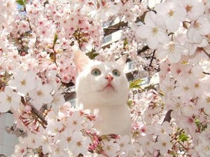 kitten with seresa blossoms