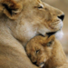 lioness and her cub - lions icon