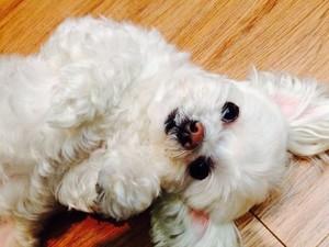 150102 [From. IU] IU 게시됨 a new 사진 of her dog, Bbuggu!