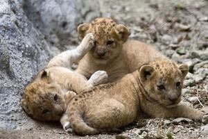 3 adorable lion cubs