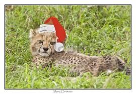 A Cheetah giáng sinh