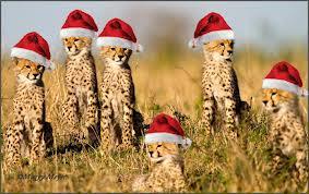 A Cheetah Krismas